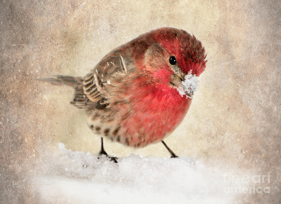 House Finch Photograph - Christmas Card 9 by Betty LaRue