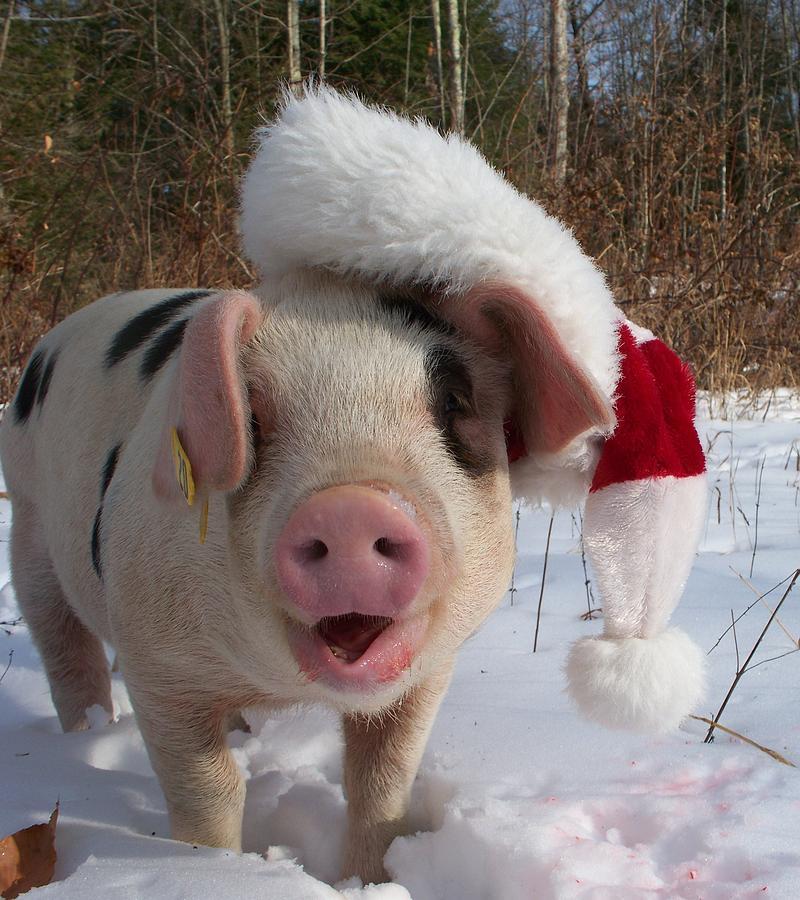 Christmas Pig Photograph