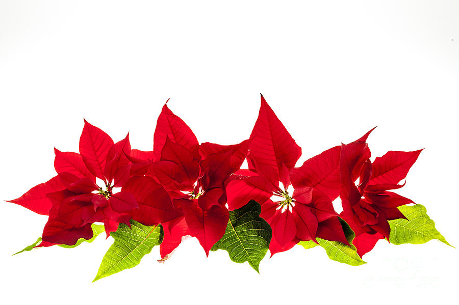 Christmas Poinsettias Photograph  - Christmas Poinsettias Fine Art Print
