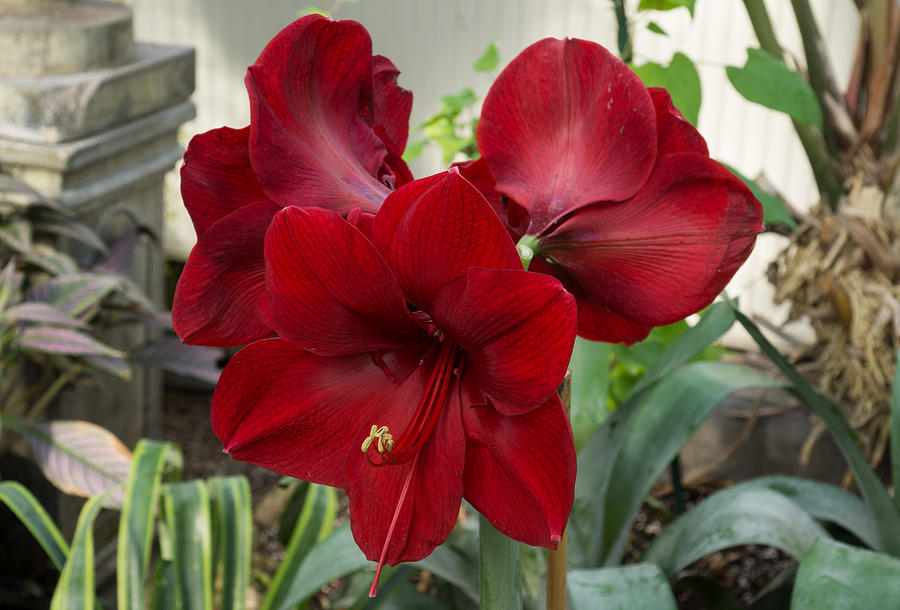 christmas red amaryllis flowers georgia mizuleva