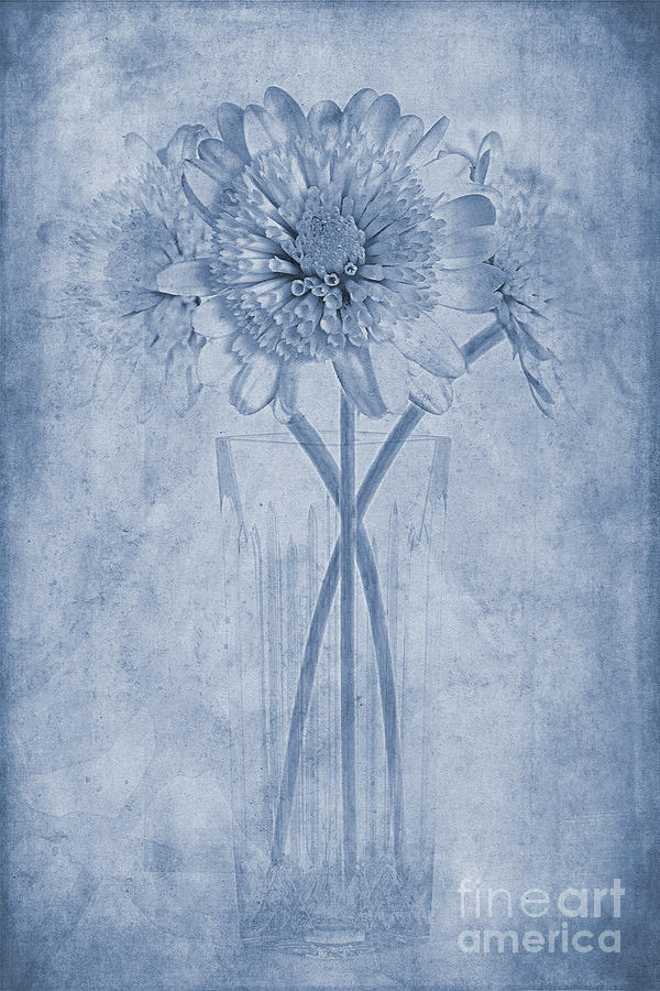 Chrysanthemum Photograph - Chrysanthemum Cyanotype by John Edwards