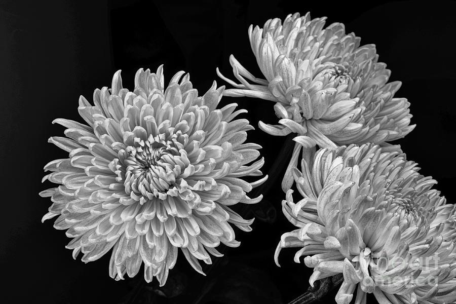 Chrysanthemums Photograph