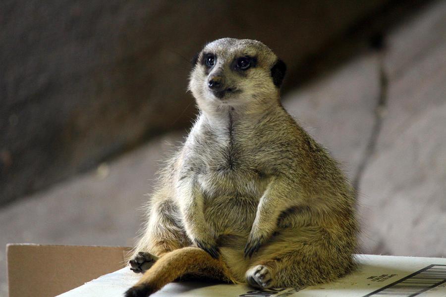 http://images.fineartamerica.com/images-medium-large-5/chubby-meerkat-tera-bunney.jpg