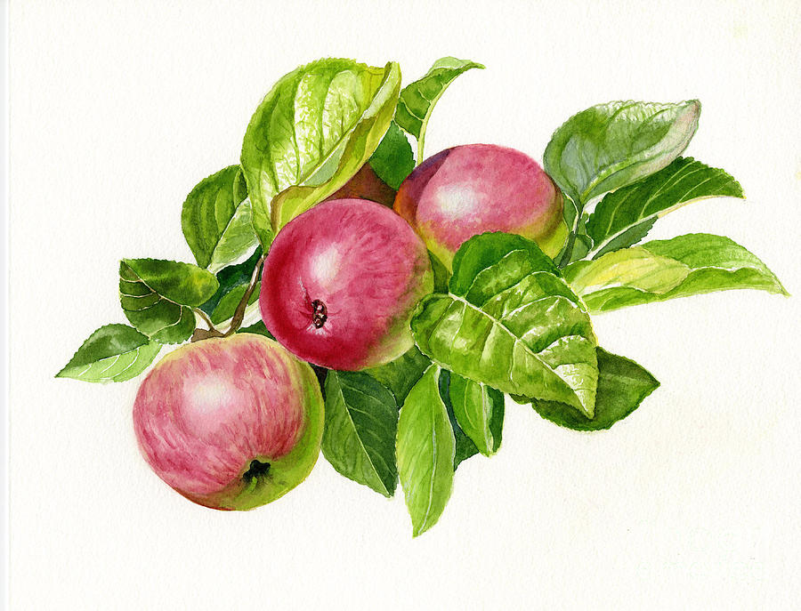 Cider Painting - Cider Apples With White Background by Sharon Freeman