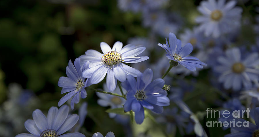 Blue Daisy Blue Flower Photograph - Cineraria  1217 by Terri Winkler