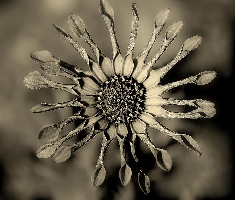 Circle Of Petals Photograph  - Circle Of Petals Fine Art Print