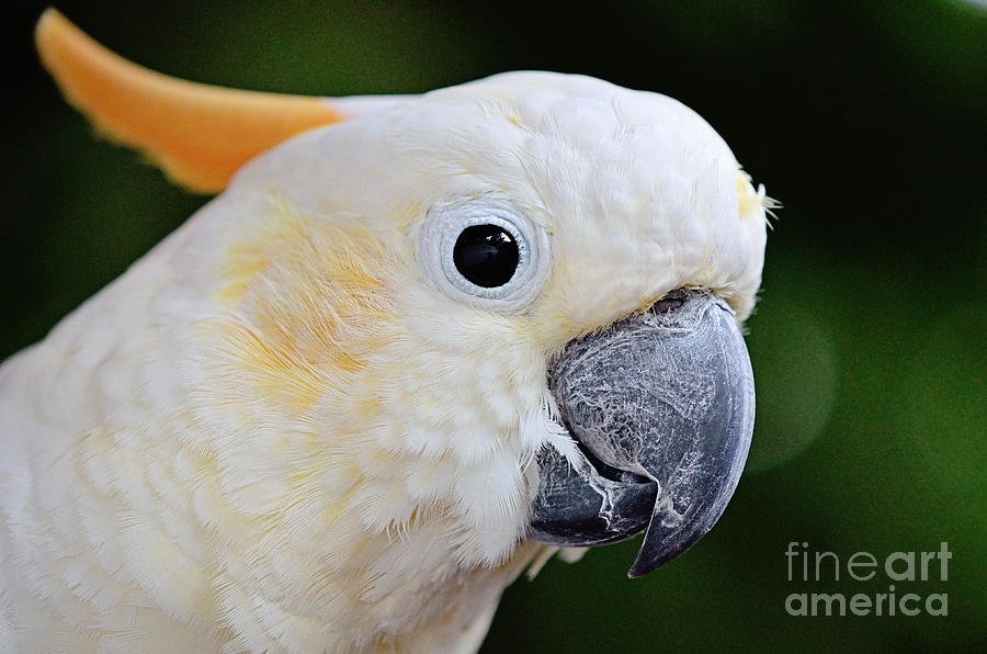 Citron Cockatoo 103