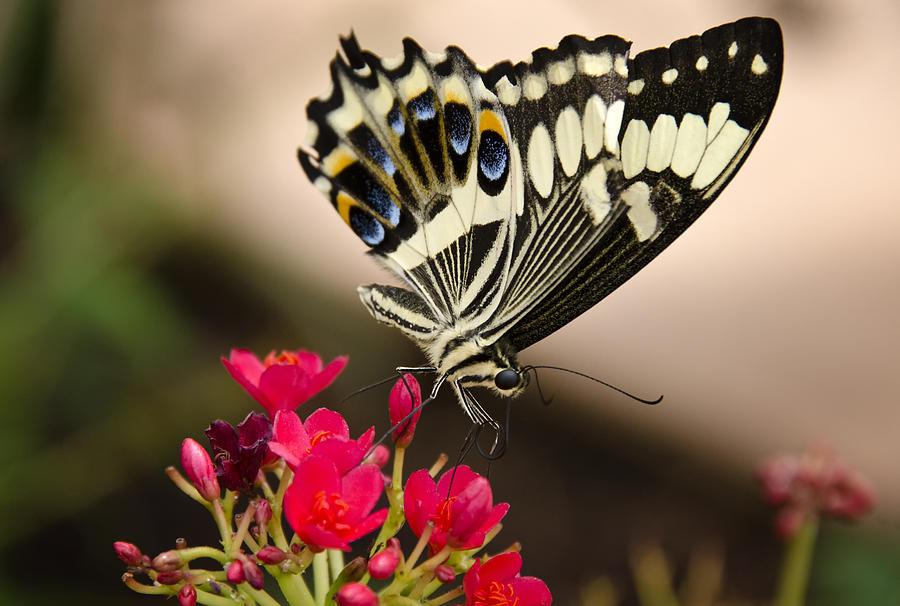 Black And White Butterfly Photograph - Citrus Swallowtail  by Saija  Lehtonen