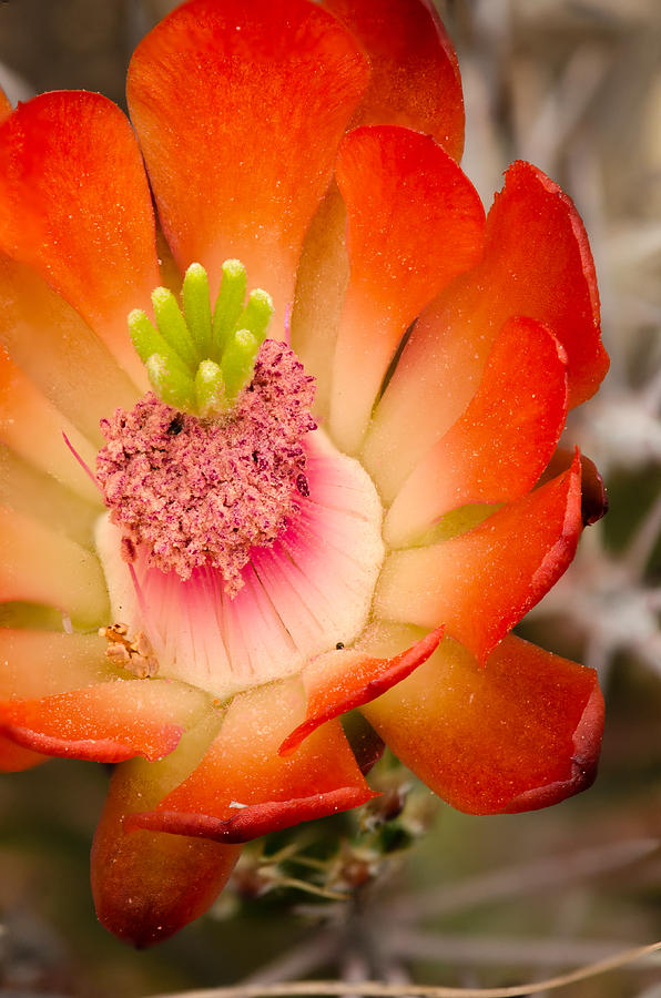 Bloom Photograph - Claret Cup by Thomas Pettengill
