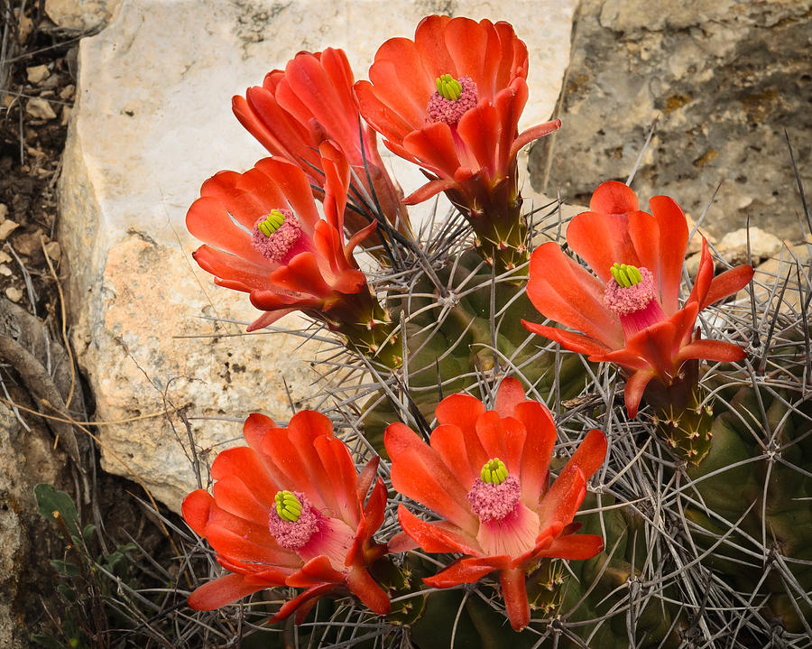 Bloom Photograph - Claret Cups by Thomas Pettengill