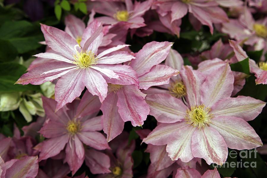 Clematis First Lady Photograph
