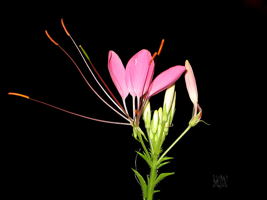 Cleome Photograph - Cleome by J R Baldini Master Photographer