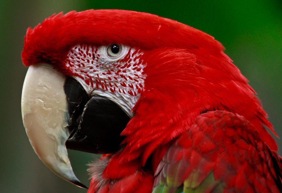 Close Up Of A Gorgeous Scarlet Macaw Parrot Photograph By