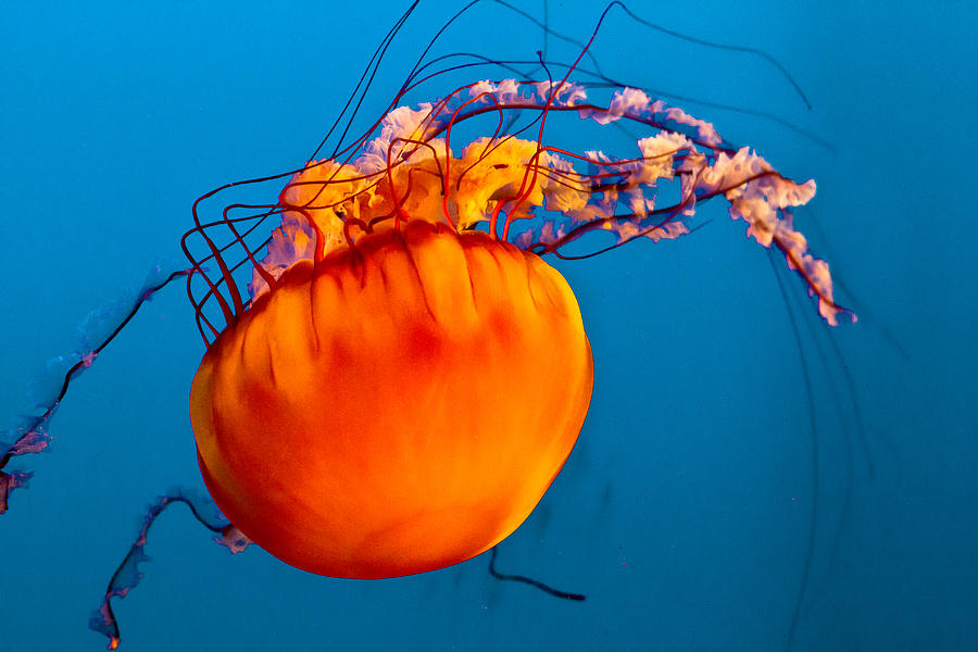 Jelly Fish Photograph - Close Up Of A Sea Nettle Jellyfis by Eti Reid