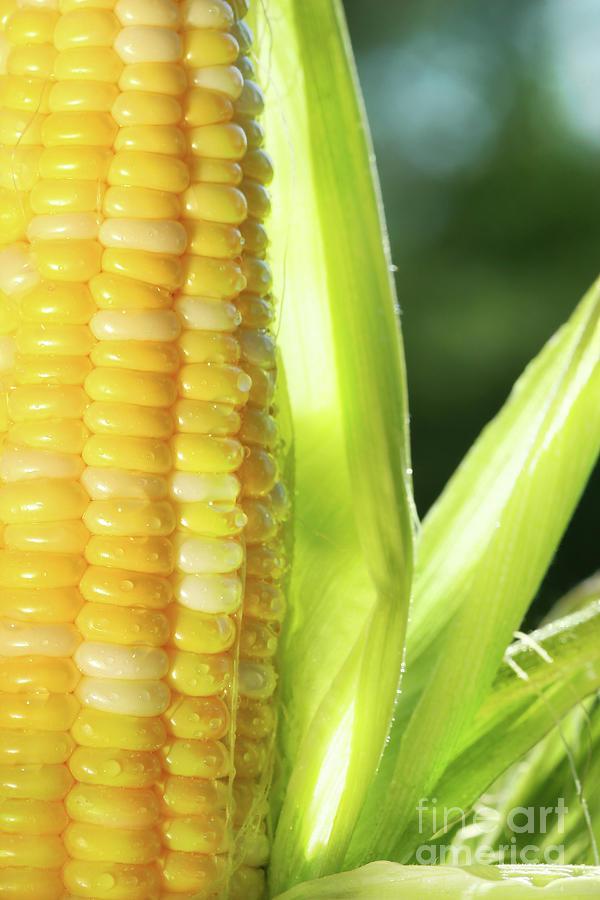 Close-up Of Corn An Ear Of Corn  Photograph
