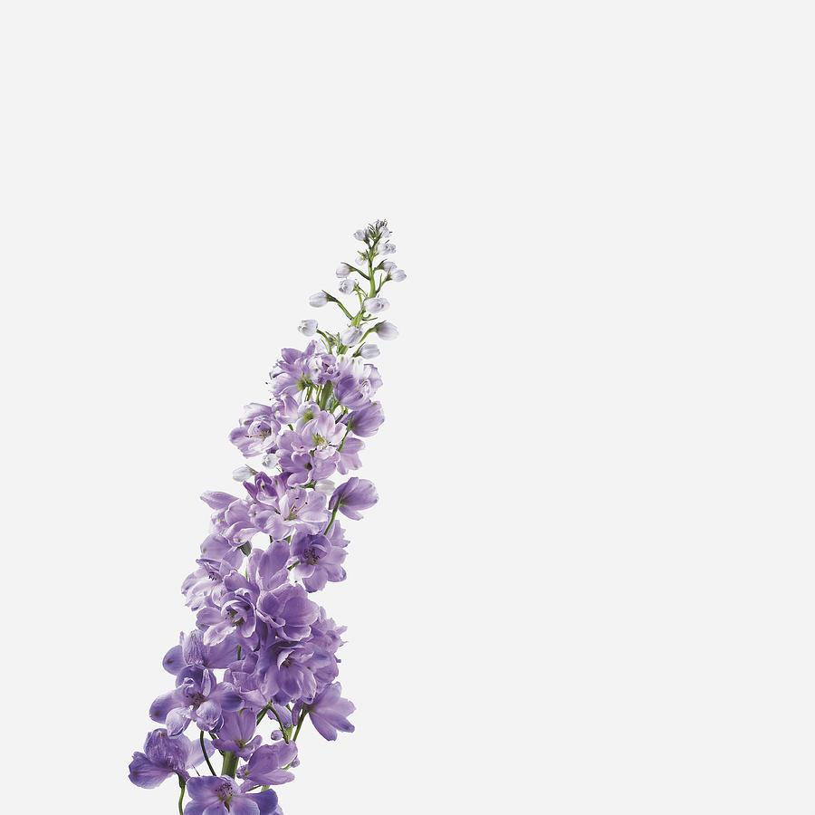 Close-up Of Lavender Flower PhotographLavender Flower Close Up