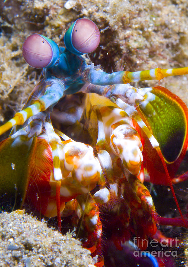 Close-up View Of A Mantis Shrimp Photograph  - Close-up View Of A Mantis Shrimp Fine Art Print