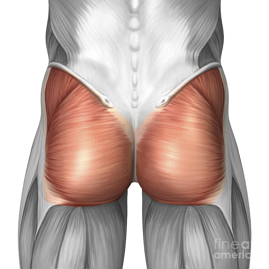 Close-up View Of Human Gluteal Muscles Digital Art