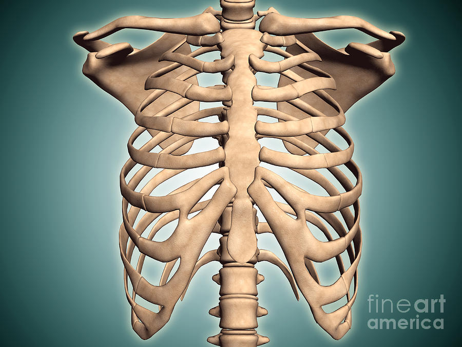 Close-up View Of Human Rib Cage Digital Art