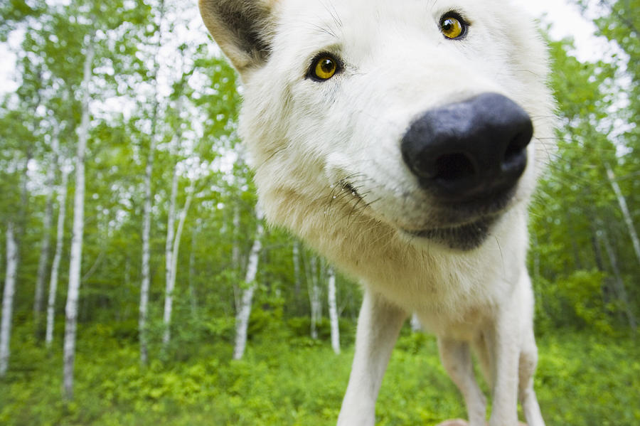Closeup Of Adult Wolf Face In Forest Photograph By Michael