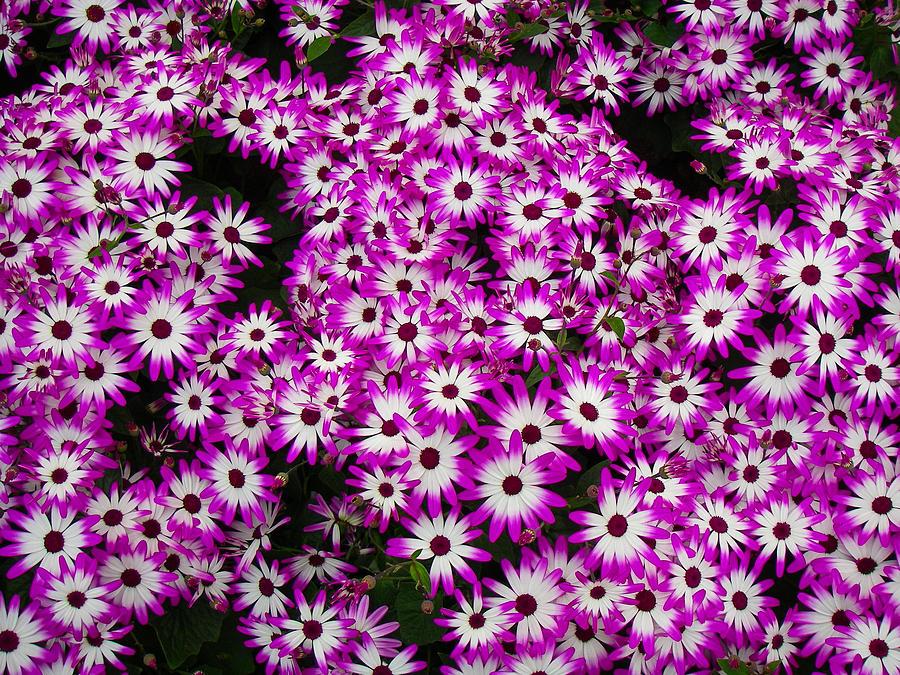 Closeup Of Beautiful Small Purple And White Daisy Like