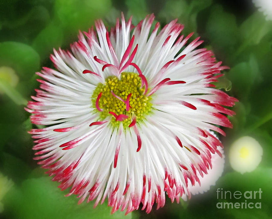 Closeup Of White And Pink Habenera English Daisy Flower Photograph  - Closeup Of White And Pink Habenera English Daisy Flower Fine Art Print
