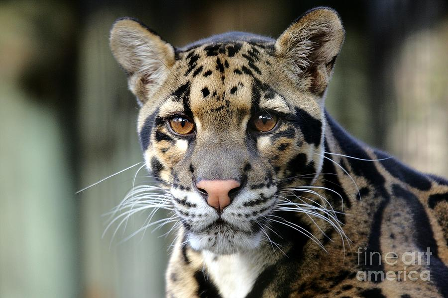 Clouded Leopard Portrait Photograph  - Clouded Leopard Portrait Fine Art Print