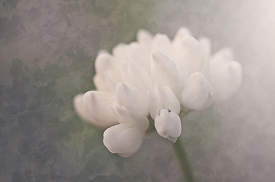 Clover In White Photograph