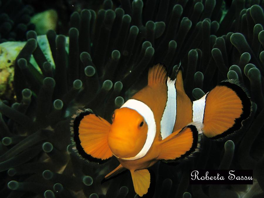 Sea Life Pyrography - Clown Fish by Roberta Sassu