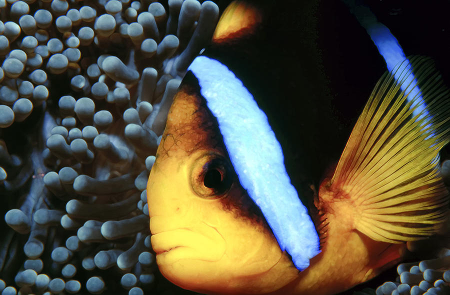 Clownfish 6 Photograph