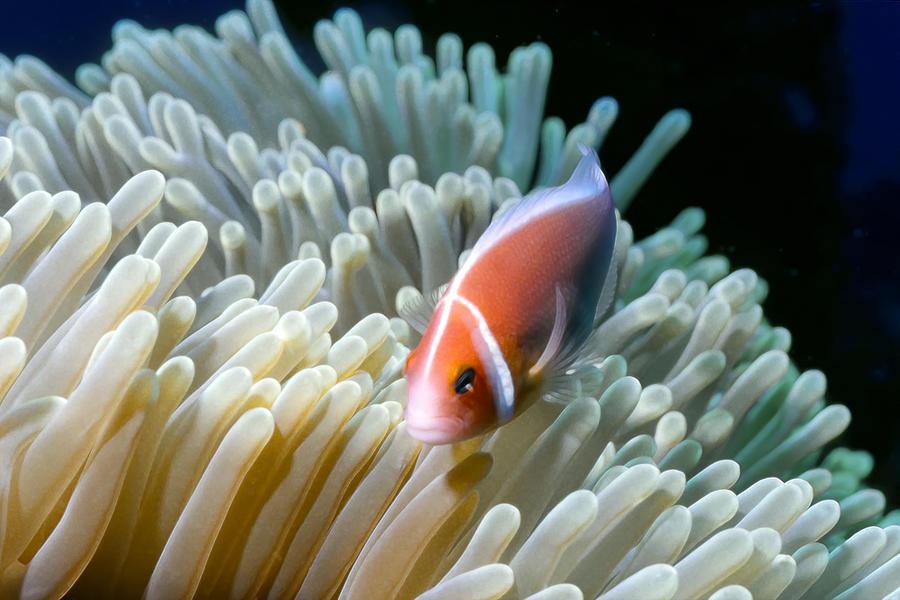 Clownfish 9 Photograph