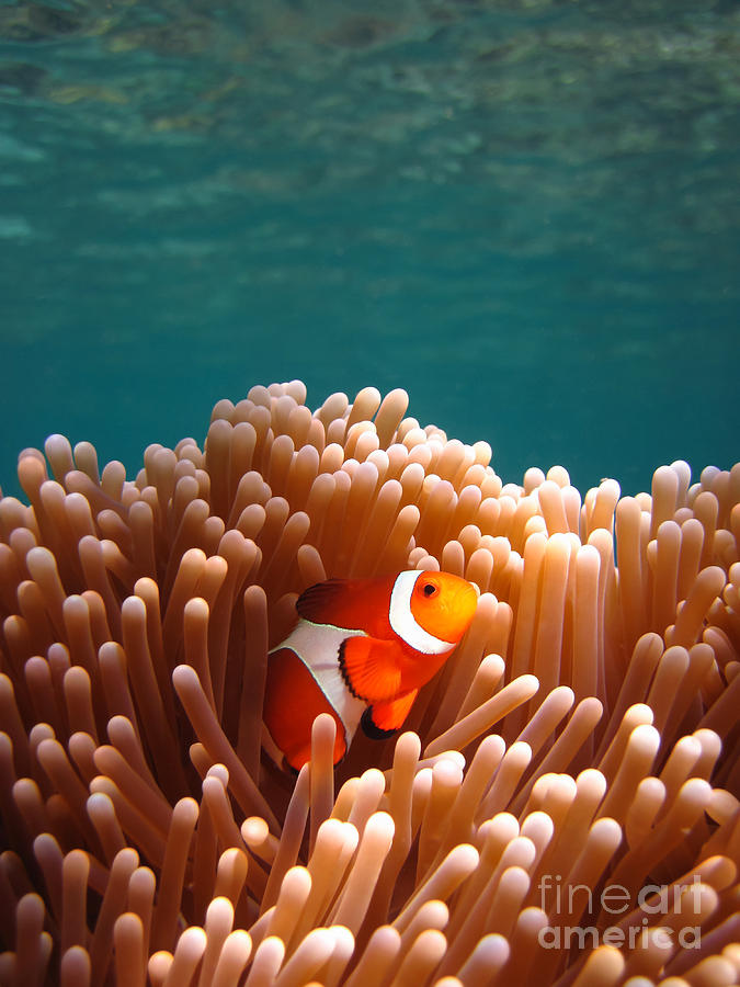Clownfish In Coral Garden Photograph