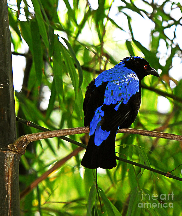 Cobalt Blue Feathers - Raven Photograph