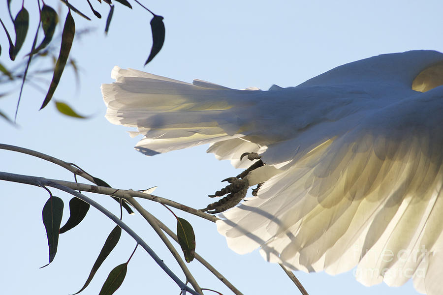 Cockatoo In Flight Photograph  - Cockatoo In Flight Fine Art Print