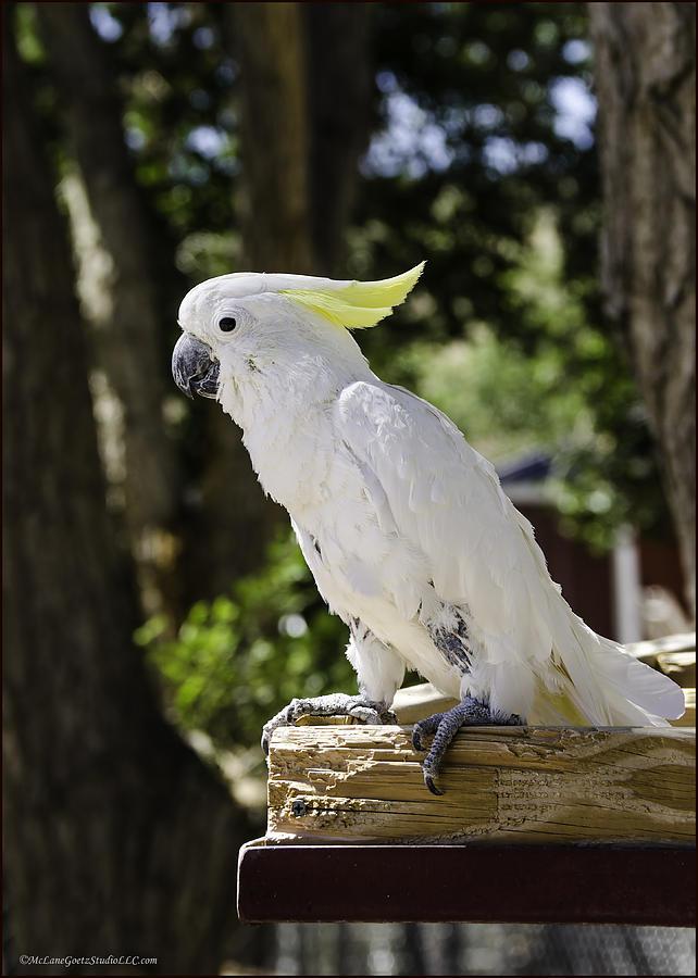Cockatoo White Parrot Photograph