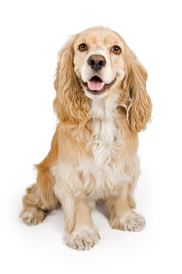 Cocker Spaniel Dog Isolated On White Photograph