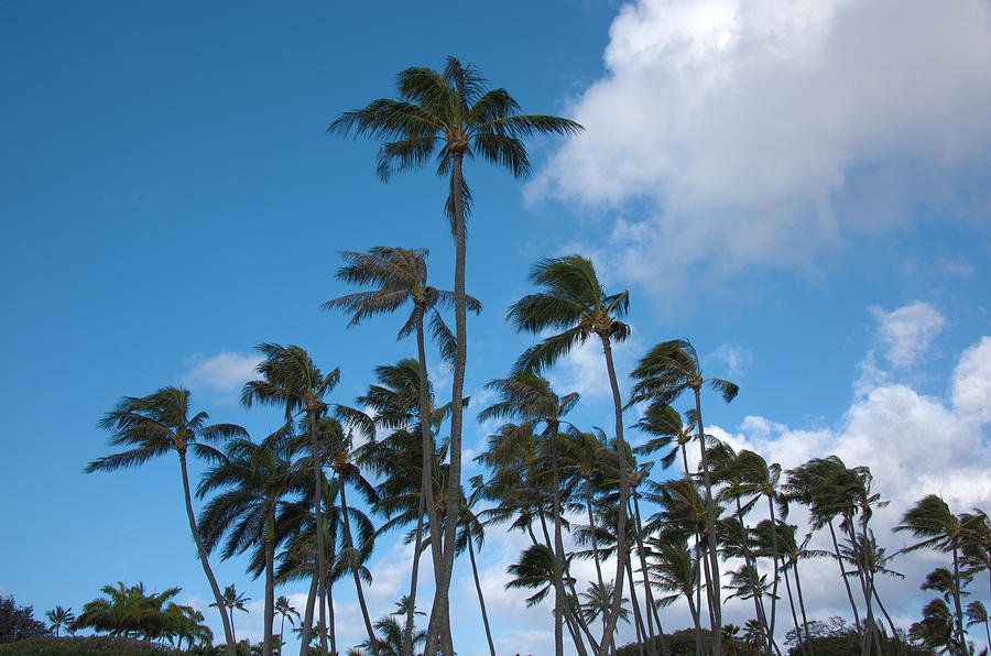Coconut Palms - Oahu Hawaii Photograph  - Coconut Palms - Oahu Hawaii Fine Art Print