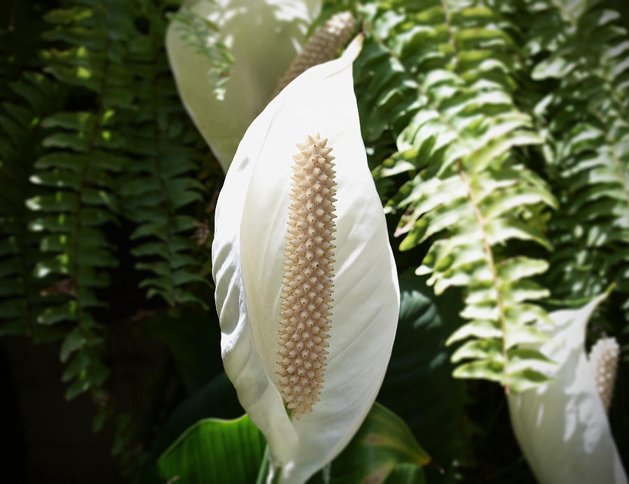 Cocoon Flower Photograph  - Cocoon Flower Fine Art Print