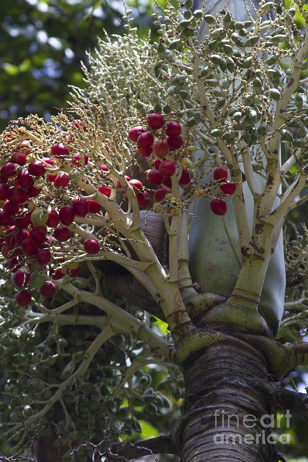 Cocos Nucifera - Niu Mikihilina - Palma Photograph