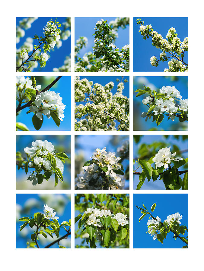 Collage Spring Blossoms 1 Photograph