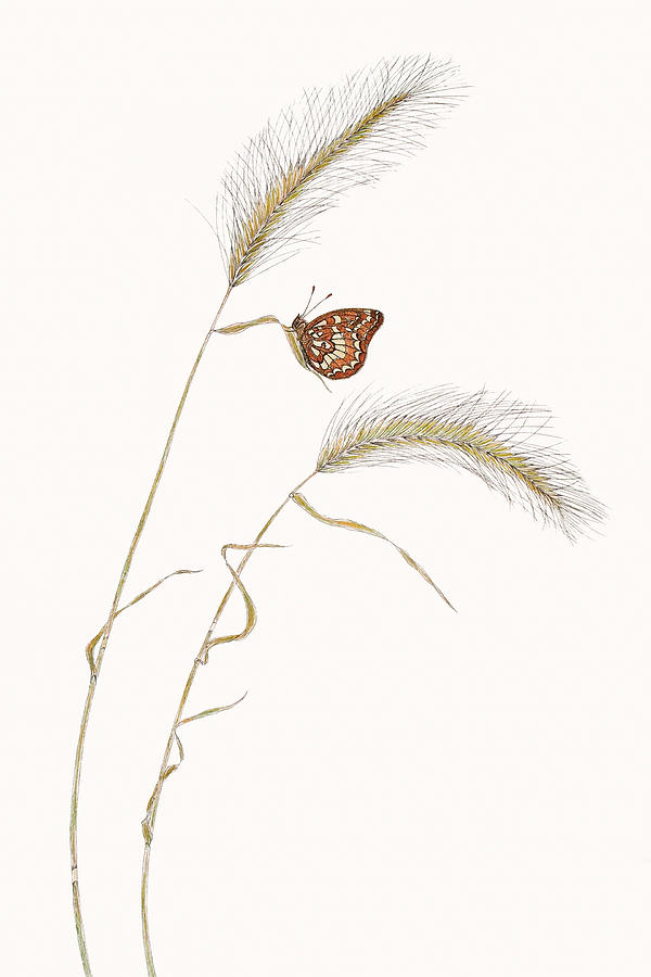 Colon Checkerspot Drawing  - Colon Checkerspot Fine Art Print