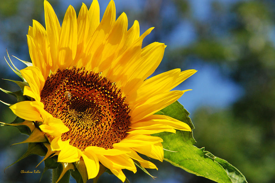 Sunflower Photograph - Color Me Happy Sunflower by Christina Rollo