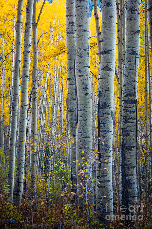 Colorado Aspens Photograph  - Colorado Aspens Fine Art Print