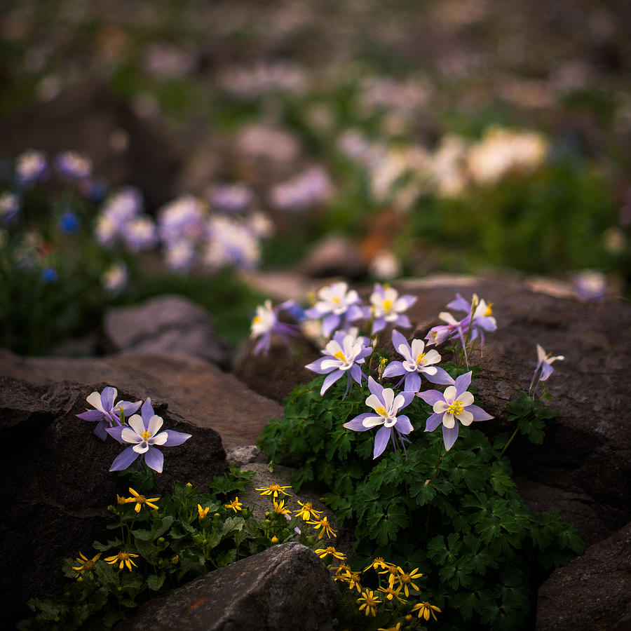 Colorado Columbine Glamour Shot Photograph  - Colorado Columbine Glamour Shot Fine Art Print