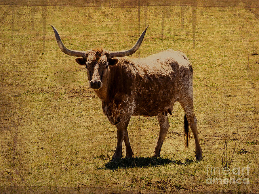 Colorado Longhorn Photograph