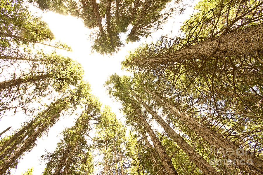 Colorado Rocky Mountain Forest Ceiling Photograph