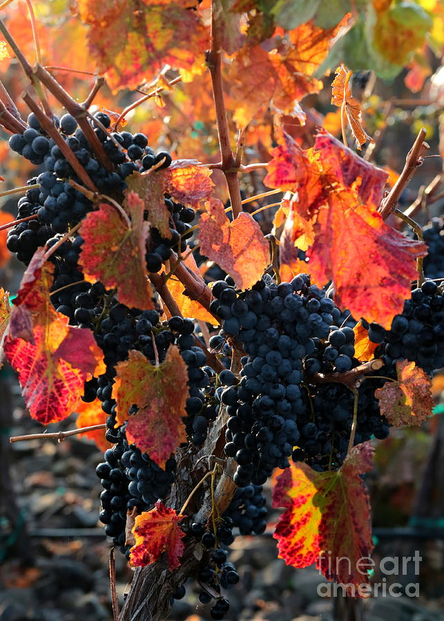 Colorful Autumn Grapes Photograph