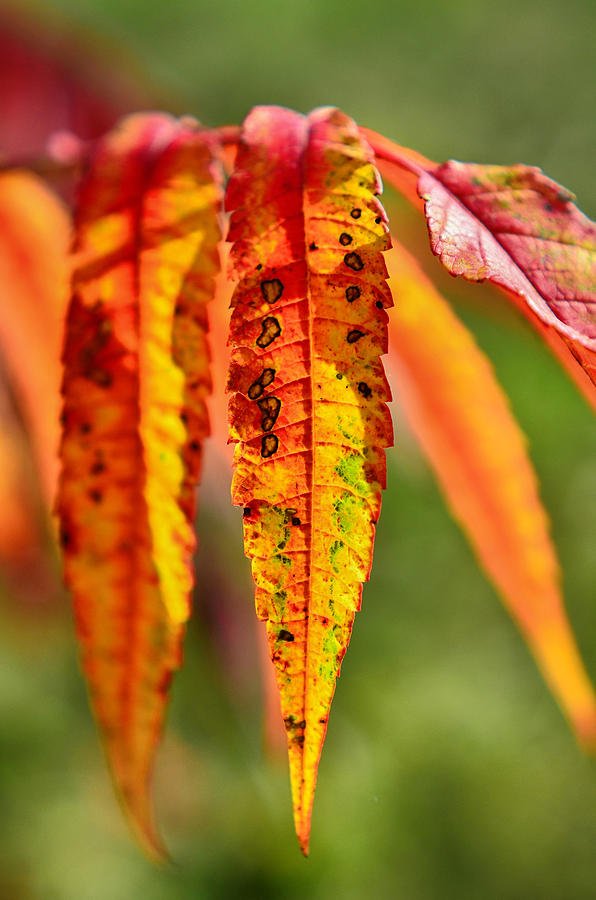 Colorful Autumn Leaves Photograph