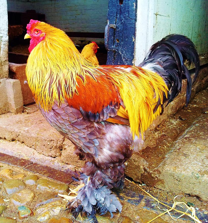 Colorful Cock Photograph