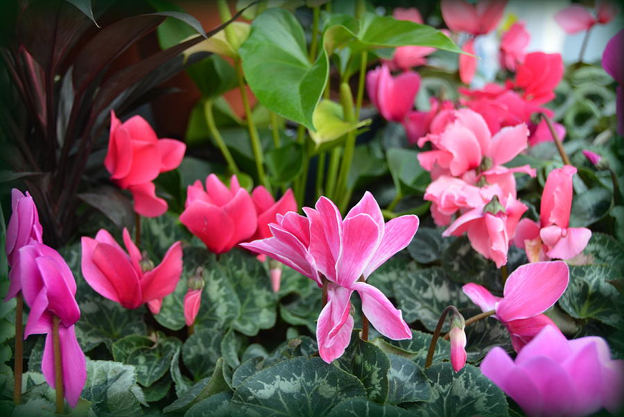 Colorful Cyclamen Photograph  - Colorful Cyclamen Fine Art Print